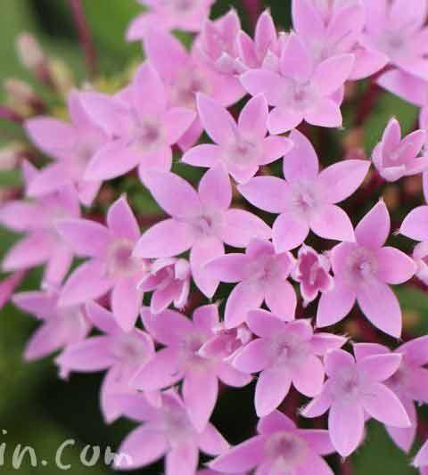 ペンタスの花の写真&花言葉