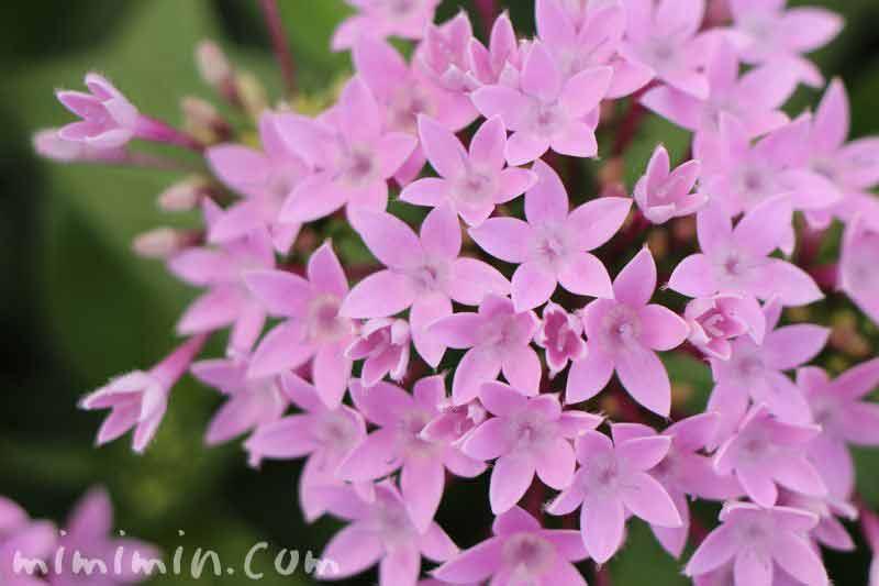 ペンタスの花の写真