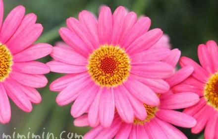 マーガレットの花(ピンク色)の写真