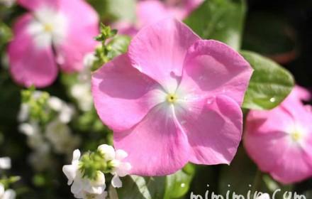 日々草・ピンクの写真
