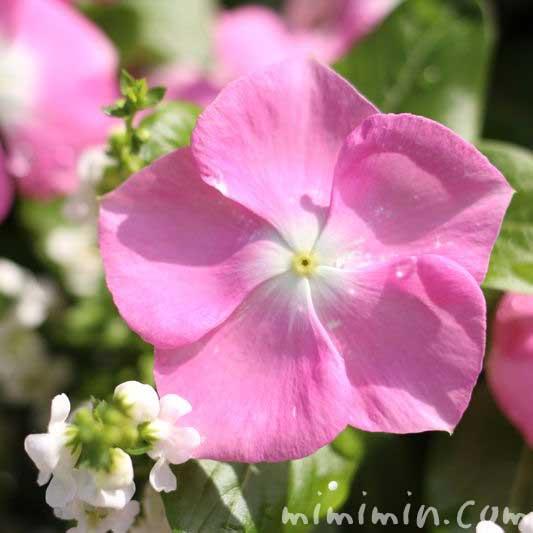 ニチニチソウ・ピンクの画像