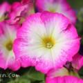 ペチュニア(ピンク×白)の写真