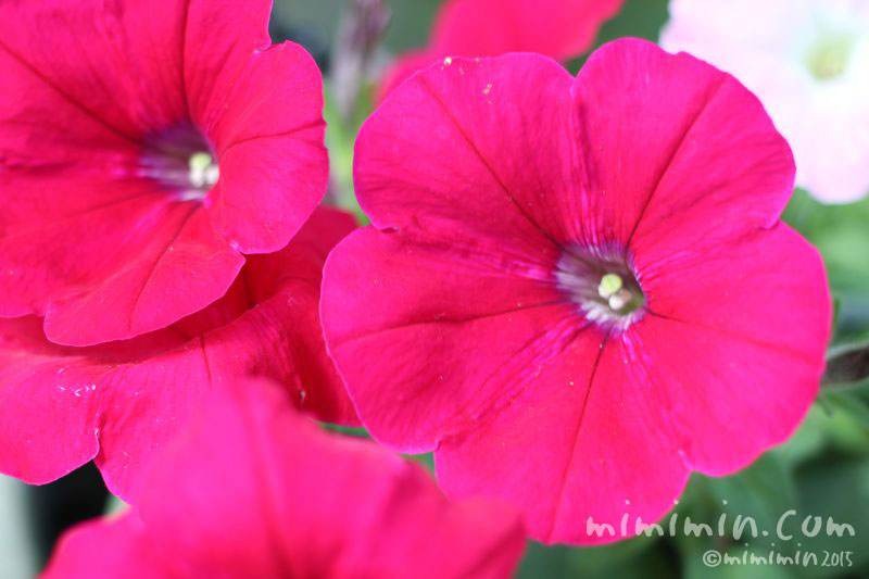 濃いピンクのペチュニアの画像