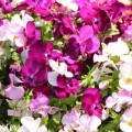 パンジーの花(満開)の画像