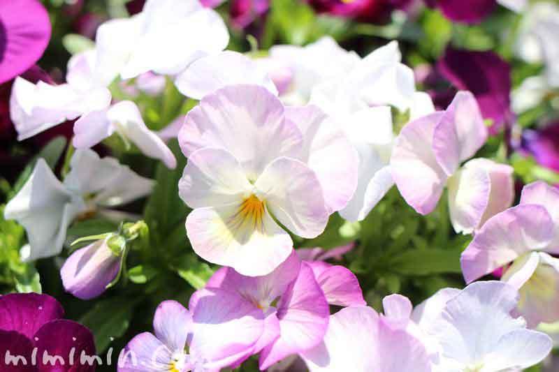 パンジーの花(春)の写真