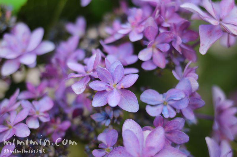 アジサイ(紫の墨田の花火)の画像