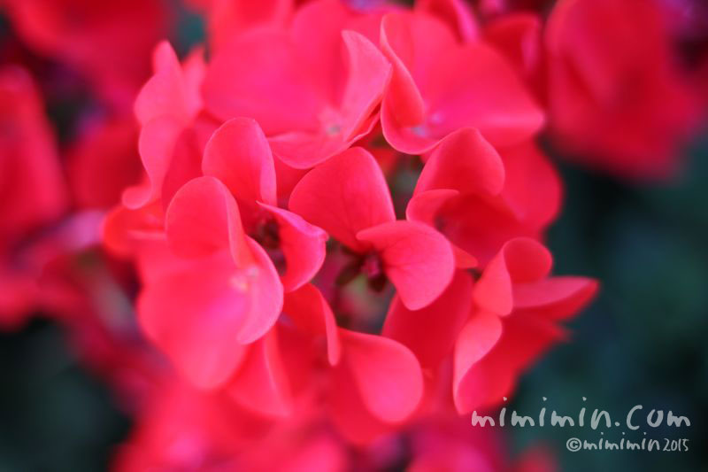 ゼラニウムの花(赤色)の画像