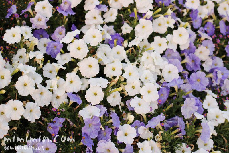 紫と白のペチュニアの画像