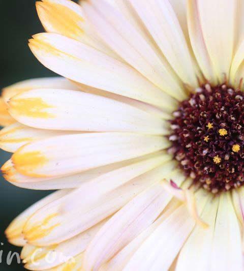 白いオステオスペルマム(花の写真&花言葉)