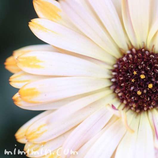 カレンデュラの花・白の写真