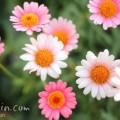 マーガレット(ピンク×白)の画像
