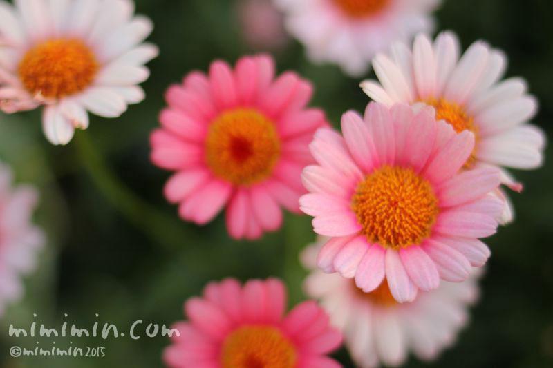 マーガレットの花(ピンク×白)の画像