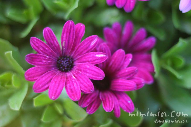 オステオスペルマム(赤紫色)の写真