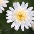 マーガレット(八重咲き)の画像