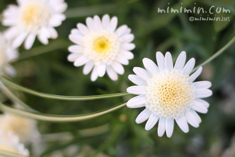 八重咲きマーガレット(白)の画像