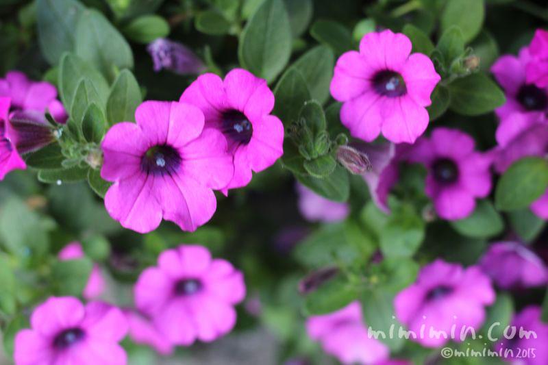赤紫のペチュニアの画像