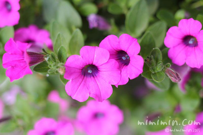 赤紫色のペチュニアの花の画像