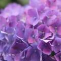 アジサイ(紫色×ピンクの斑)の画像