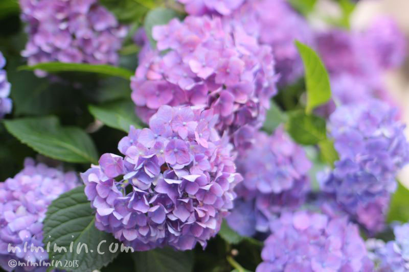 アジサイ(紫の満開のあじさい)の画像