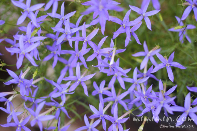イソトマの花の画像