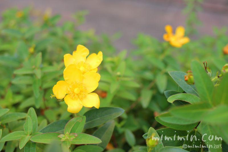 キンシバイ・金糸梅の花の写真
