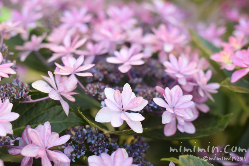 ガクアジサイ(薄いピンクの墨田の花火)の画像