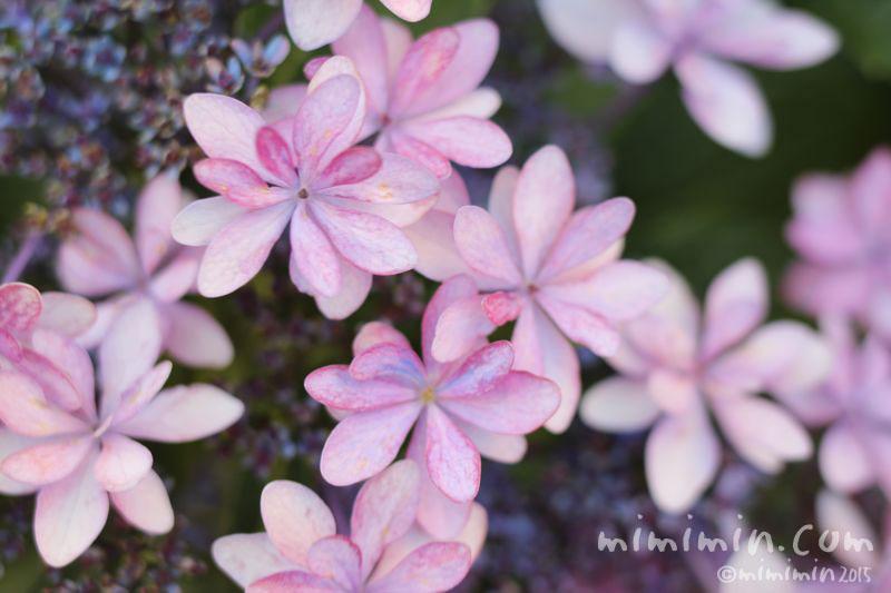 ガクアジサイ(ピンク色)の画像