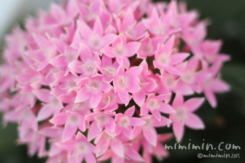 ピンク色のペンタスの写真