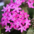 濃いピンクのペンタスの画像