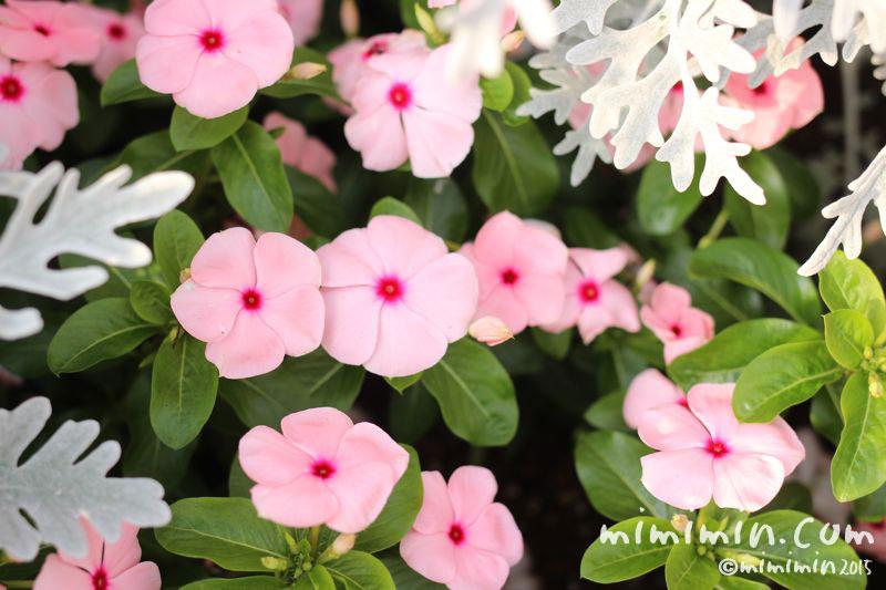 ニチニチソウ(ピンク色の日々草)の画像