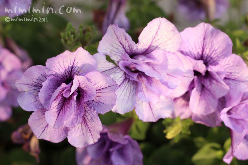 八重咲きのペチュニア(紫)の画像