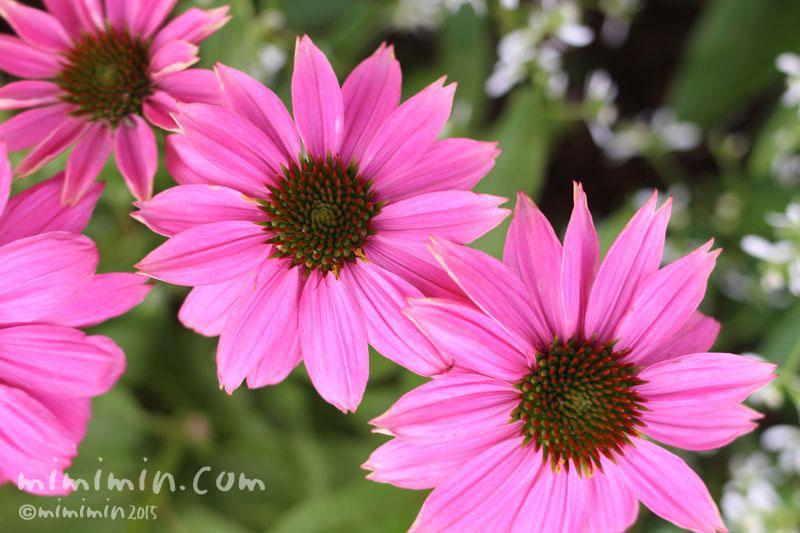 エキナセア(ムラサキバレンギク)の花の写真