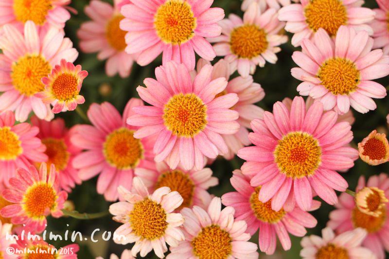 満開のピンクのマーガレットの花の画像