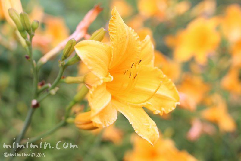 ニッコウキスゲの黄色の花の写真