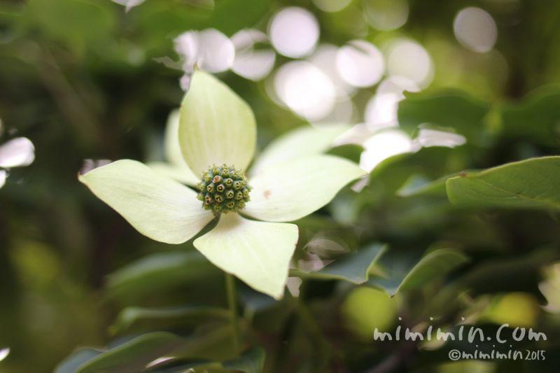 ヤマボウシの花の画像