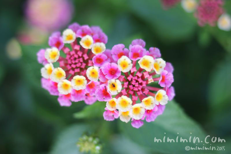 ランタナの花の写真