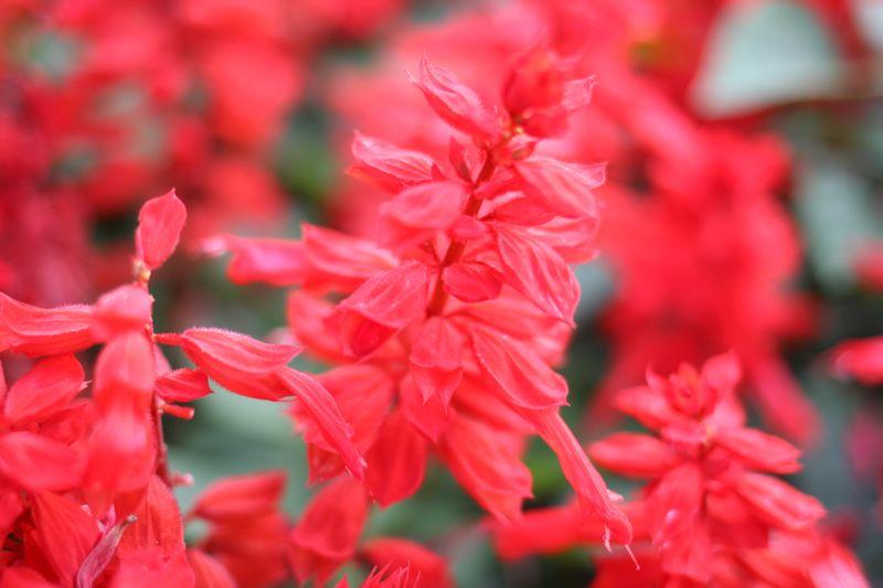 サルビアの花の写真