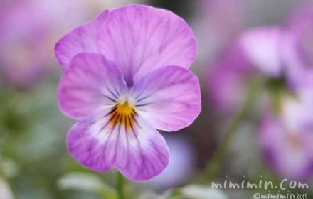薄紫色のパンジーの画像