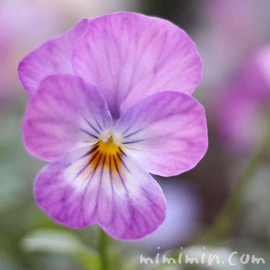 薄紫色のパンジーの花の写真