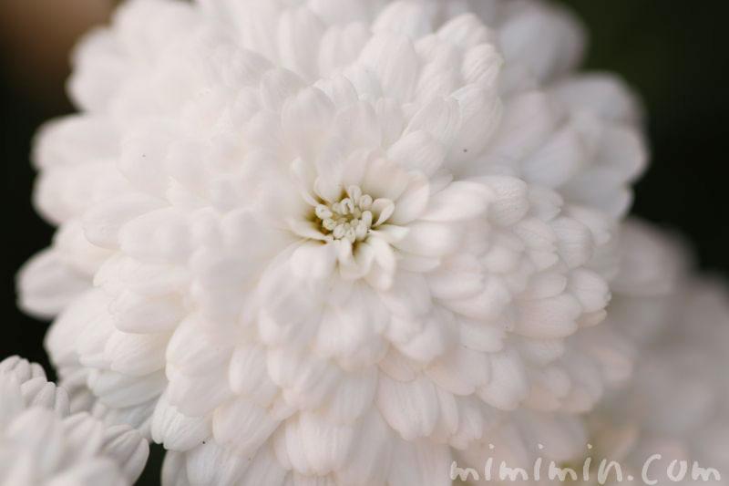 八重咲きマーガレットの花・白の写真