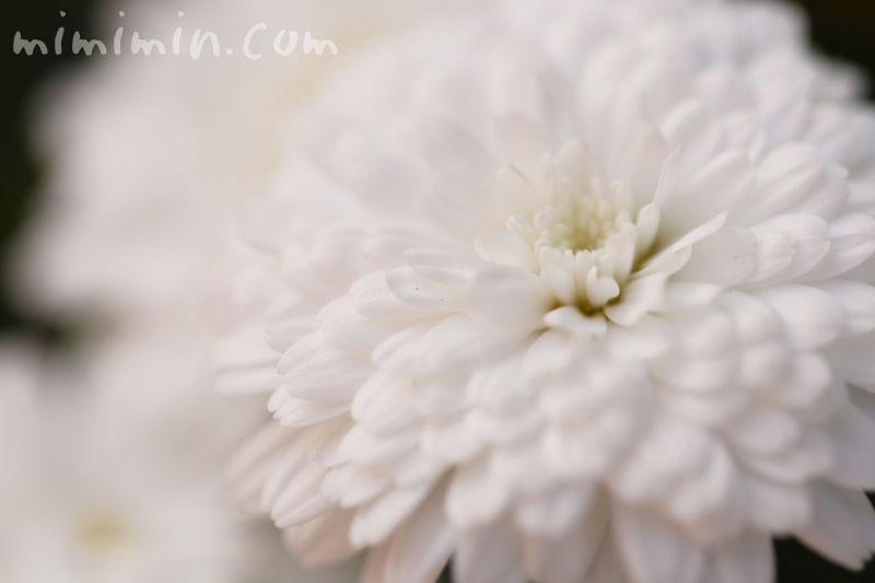 八重咲きマーガレット・白の画像