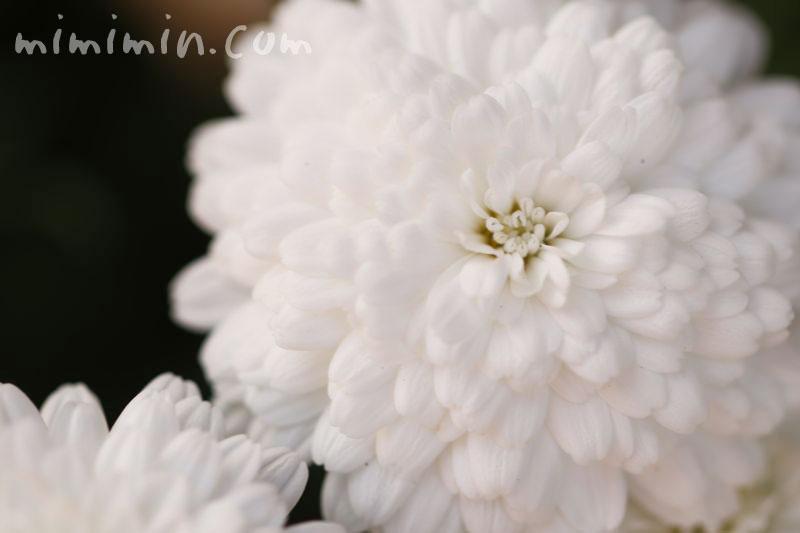 八重咲きマーガレット