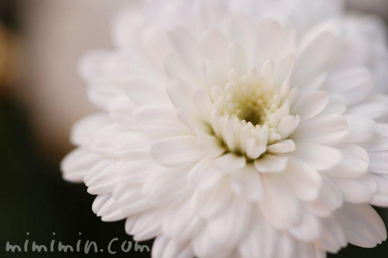 八重咲きマーガレットの花