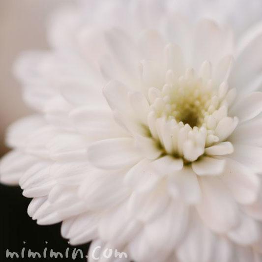 マーガレットの花・八重咲きの写真
