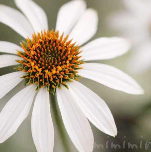 エキナセア(ムラサキバレンギク)の花の写真・花言葉
