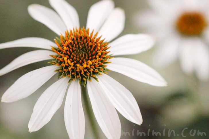 エキナセアの花の画像