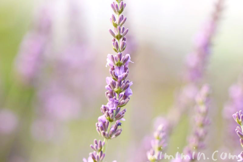 ラベンダーの誕生花の写真