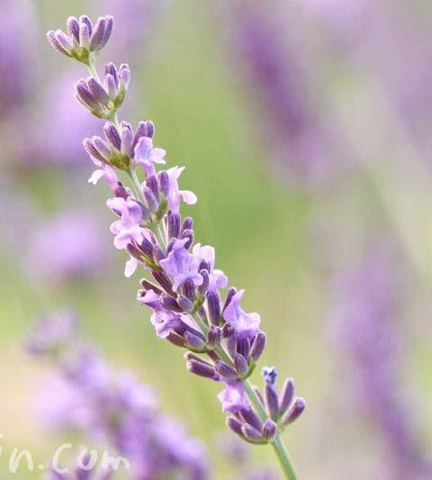 ラベンダーの花言葉・誕生花・花の写真