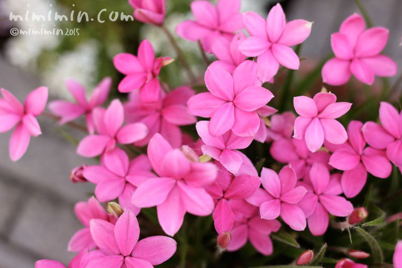 アッツザクラ(ピンク)の写真