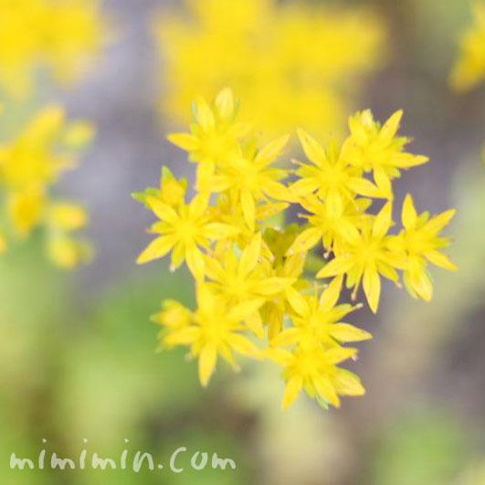 セダムの花の画像